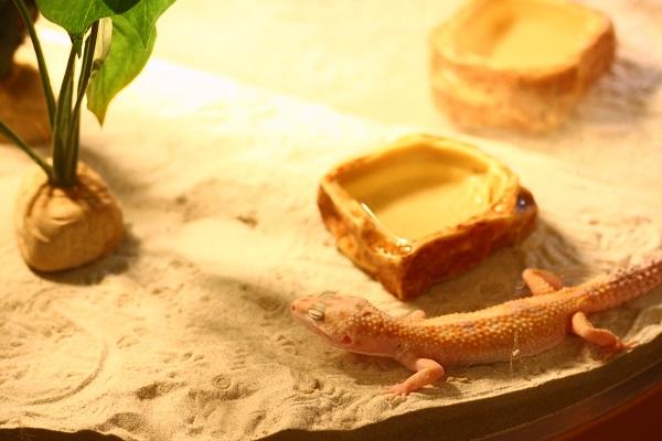 Moff animal cafe ヒョウモントカゲモドキ